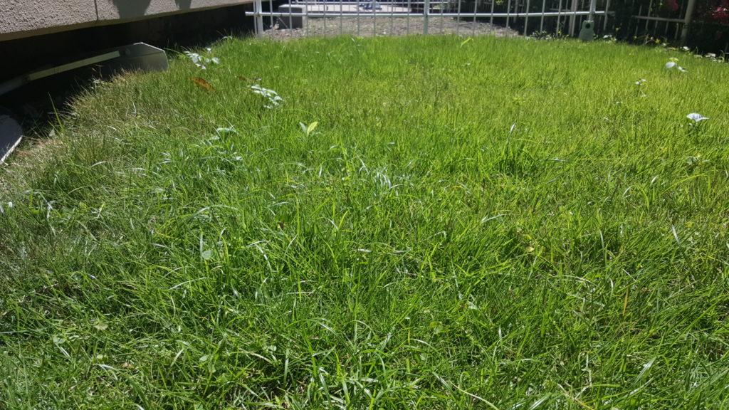 芝刈り前の庭