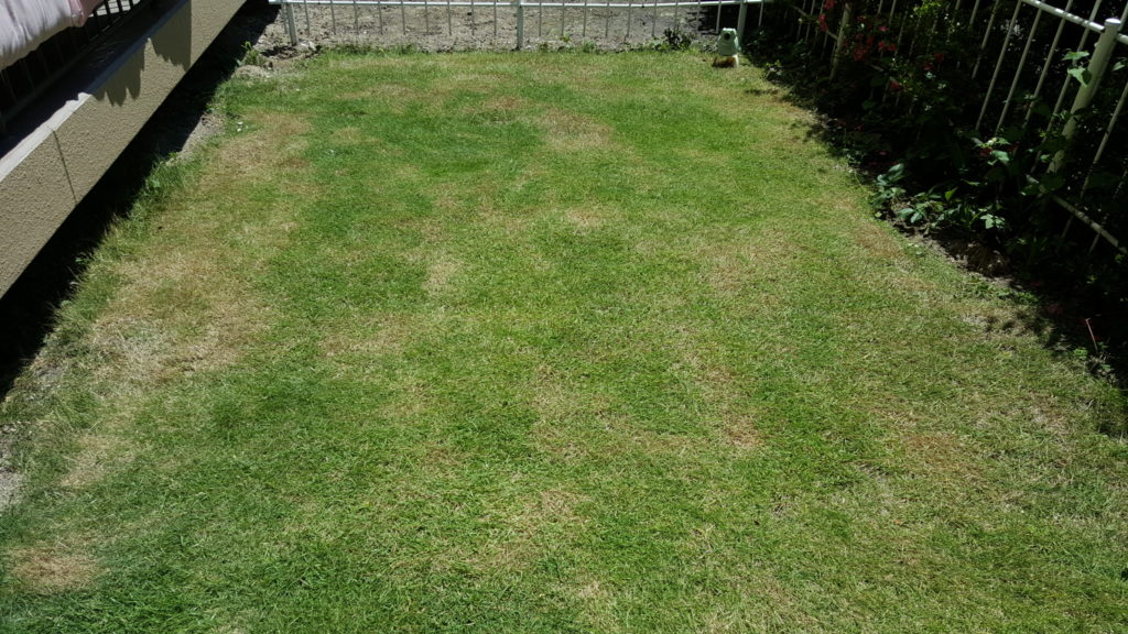 芝生の6月の様子